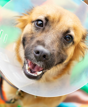 Young Dog With Veterinary Collar Also Called Elizabethan After Surgery