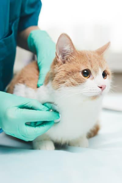 Vet Examining The Pet
