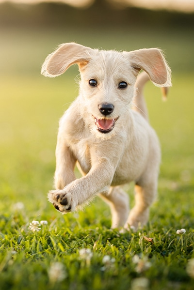 Puppy Running At The Park