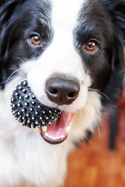 Funny Portrait Of Cute Smilling Puppy Dog Border Collie Holding Toy Ball In Mouth. New Lovely Member Of Family Little Dog At Home Playing With Owner. Pet Care And Animals Concept